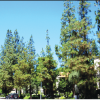 Cerritos Commission Will Meet to DiscussCity's Pine Tree Reforestation Plan